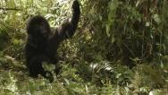 Young mountain gorilla swinging on vegetation Stock Footage