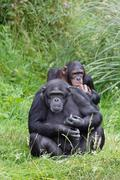 chimp chimpanzees - stock photo