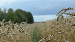 Stock Video Footage of walk imitation ripe wheat agriculture plant ears field