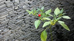 Ornamental Red Pepper - stock footage