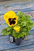 pansy seedlings - stock photo