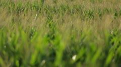 Breeze Blowing Through Farm Field Stock Footage