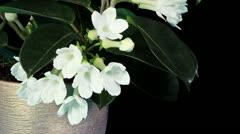 Time-lapse opening white stephanotis flower Stock Footage