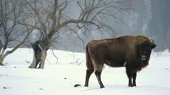 A small Group of Aurochs, Bison Herd in Winter Snow Season, Meadow Landscape Stock Footage
