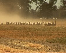 Sheep on a farm in rural Australia, NSW - stock footage