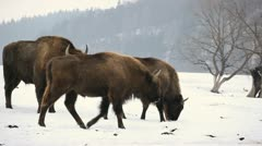 A small Group of Aurochs, Bison Herd in Winter Snow Season, Meadow Landscape Stock Footage