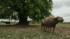 ASIAN ANIMALS: Water buffalos and large Asian tree Stock Footage