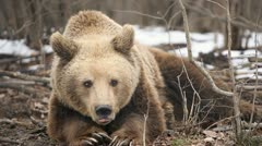 Stock Video Footage of Winter Season, Brown Bear in Snow, Forest, Eating, Playing, Sitting, Looking