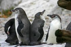 humboldt penguin sch nbrunn zoo penguins animal - stock photo