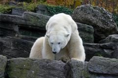 polar bear sch nbrunn zoo animal mammal hietzing - stock photo