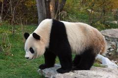 Panda sch nbrunn zoo animal bear mammal hietzing Stock Photos