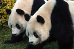 Panda sch nbrunn zoo two pandas animal bear Stock Photos
