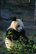 bamboo panda sch nbrunn zoo eating animal bear - stock photo
