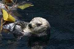 water head seaotter sea otter animal body part - stock photo