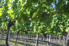 green vine wine region wachau nieder sterreich - stock photo