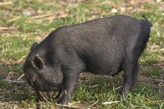 gorge pig animal mammal nieder sterreich lower - stock photo