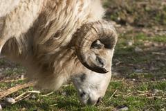 gorge sheep animal mammal nieder sterreich lower - stock photo