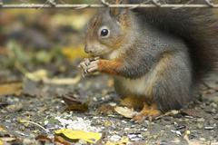 autumn gorge sch nbrunn zoo squirrel eating - stock photo