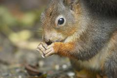 Stock Photo of autumn sch nbrunn zoo squirrel animal rodent 13
