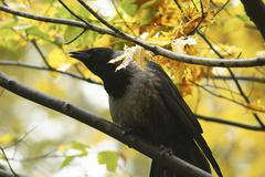 autumn branch crow sch nbrunn zoo sitting tree - stock photo