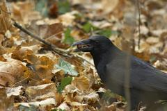 Stock Photo of autumn crow forest sch nbrunn zoo animal bird