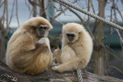 monkey sch nbrunn zoo white handed gibbons - stock photo