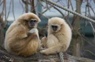 Stock Photo of monkey sch nbrunn zoo white handed gibbons