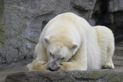 Stock Photo of polar bear sch nbrunn zoo lying animal mammal 13