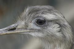 Closeup head nandu sch nbrunn zoo animal bird Stock Photos