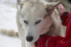 Dog winter eye glance head husky snow animal Stock Photos