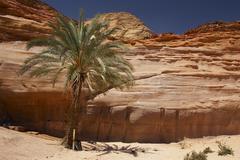 tree desert idyll palm wadi mileihis milehis - stock photo