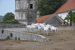Horse lippizaner white horses lipica animal Stock Photos