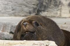 face lying rock sch nbrunn zoo sealion sea lion - stock photo