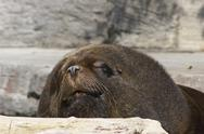 Stock Photo of face lying rock sch nbrunn zoo sealion sea lion
