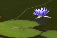 Stock Photo of blossom blue flower sch nbrunn zoo water lily