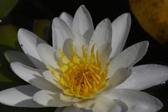 blossom flower sch nbrunn zoo water lily white - stock photo