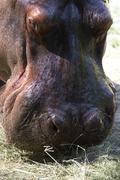 Stock Photo of gorge hippo sch nbrunn zoo animal mammal 13