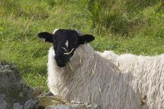 Stock Photo of sheep animal mammal ireland europe component