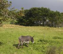Stock Photo of donkey meadow animal landscape mammal ireland