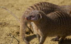banded mongoose sch nbrunn zoo animal mammal 13 - stock photo