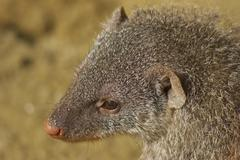 Banded mongoose sch nbrunn zoo animal mammal 13 Stock Photos