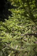 green picea abies spruce tree young fir conifer - stock photo