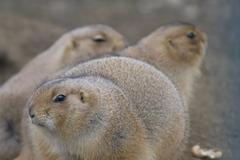 Group prairie dog sch nbrunn zoo black tailed Stock Photos