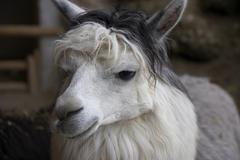 alpaca animal mammal sterreich austria europe - stock photo