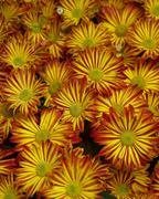 Flower house aster autumn color orange palm Stock Photos