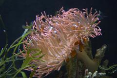 water fish anemone clown animal sea nemo aqueous - stock photo