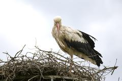 centro carapax stork animal bird massa marittima - stock photo