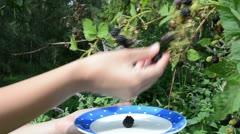 Woman hands pick ripe black berry plant bush dish Stock Footage