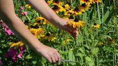Woman hands cut pick  rudbeckia flowers scissors clipper garden Stock Footage