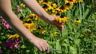 Stock Video Footage of hand cut rudbeckia flower